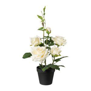 rose bush in pot 48 cm, creme
